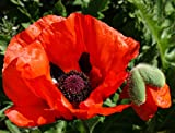 Brilliant Red Oriental Poppy 600 Seeds