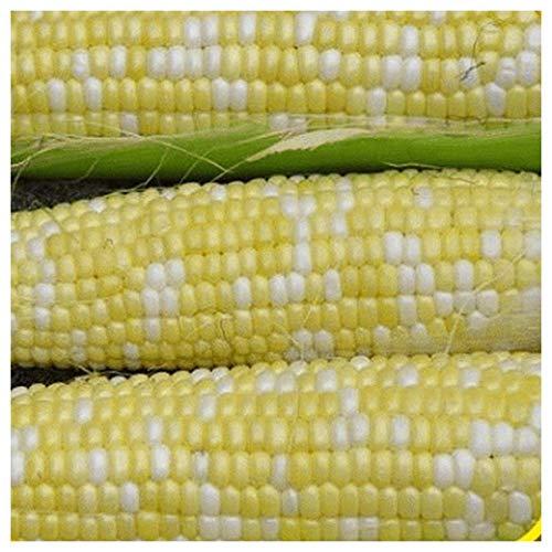 Everwilde Farms - 1 Lb Delectable Hybrid Sweet Corn Seeds (Treated) - Gold Vault Bulk