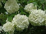 Old Fashion Snowball Viburnum (Viburnum opulus roseum) 3'' Pot 6-12'' in Height Plant