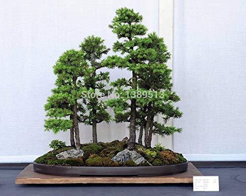 Bonsai Tree Pine White (PlenTree Bonsai Seeds 50 Pcs Japanese White Spruce Pine, Pinus Parviflora, Tree Seeds Bonsai Evergreen DIY Home Gardening)