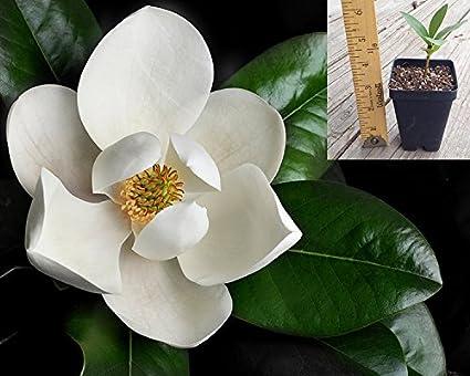 Amazoncom Magnolia Grandiflora Southern Magnolia Tree In Small