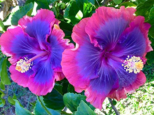Exotic Tropical Plant - 10 Rare Pink Purple Blue Hibiscus Seeds Giant Flower Tropical Garden Exotic