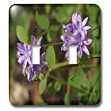 3dRose TDSwhite – Summer Seasonal Nature Photos - Floral Twin Blue Brodea Flowers - Light Switch Covers - double toggle switch (lsp_284513_2)