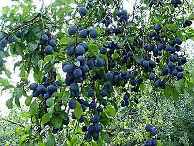 Blue Damson Plum Tree - Semi-Dwarf - Edible Fruit Healthy - 1 Bare Root Plant by Grower's Solution