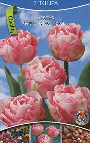 21 Gefüllte Tulpen rosa blühend, Zwiebelgröße 10/11