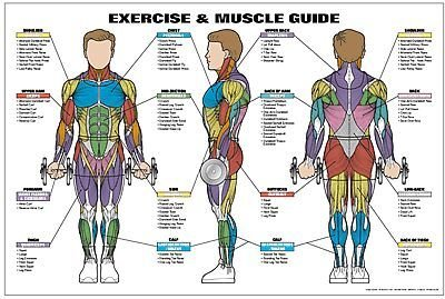 Exercise and Male Muscle Guide Laminated Fitness Poster