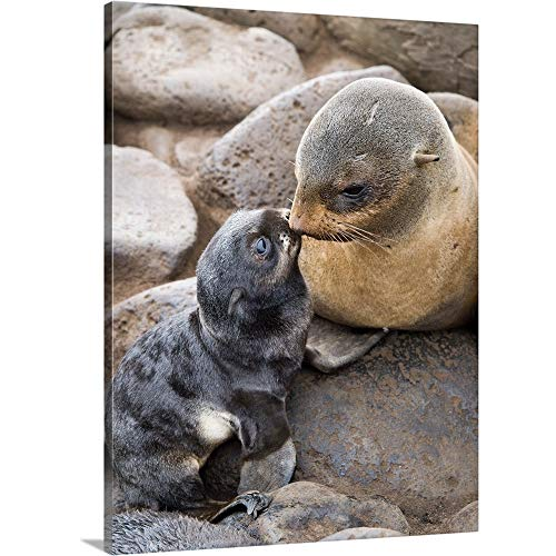 GREATBIGCANVAS Gallery-Wrapped Canvas Entitled Portrait of a Northern Fur Seal Mother and Newborn pup St. Paul Island by John Gibbens 30