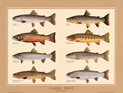 - Classic Trout Fish Poster and Identification Chart