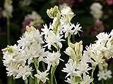 3 Polianthes tuberosa, Double Flowering Tuberose, Rajanigandha Bulbs