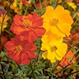 2,000 Seeds of Sulphur Cosmos, Bright Lights Mix by Seeds2Go