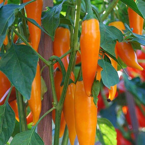 Carrots Farm Fresh - Bulgarian Carrot Pepper. 40+ Fresh Organic Seeds harvested for The 2019 Season.