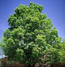 50 Green Ash Tree Seeds, Fraxinus ()
