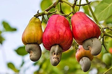 Creative Farmer Live Plant Cashew Nut Kaju Rare Exotic Plants Garden  Plant(1 Healthy Live Plant): Amazon.in: Garden & Outdoors