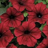 Tidal Wave F1 Petunia Here's Two Aas Winners 20 Seeds New Red Velour and Silver