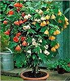 Seeds Chinese Lantern Mix (Abutilon hybridum) Organic Flower Seed