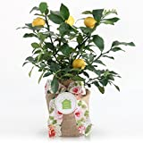 Housewarming Myer Lemon Gift Tree by The Magnolia Company - Get Fruit 1st Year, Dwarf Fruit Tree with Juicy Sweet Lemons, Indoor/Outdoor Live Potted Citrus Tree