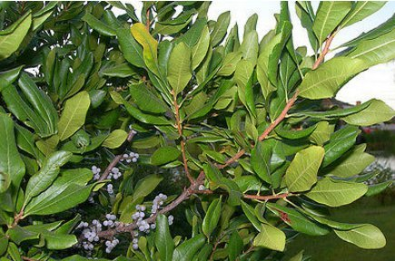 New Northern Bayberry, Myrica pensylvanica, Shrub 20 Seeds, (Hardy Fragrant Hedge)