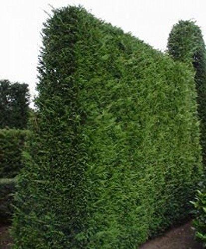Thuja Lebensbaum Wurzelware im 100er Bündel Größe 30 bis 60 cm
