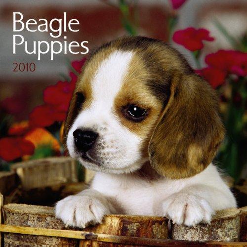 Beagle Puppies 2010 Mini Wall - Calendar 2010 Beagle