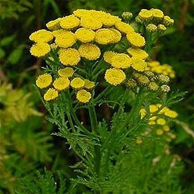 Tanacetum Vulgare Tansy 100 Seeds #PLT : Garden & Outdoor