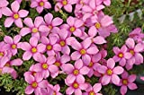 2016 Rare Oxalis Hirta Peach Oxalis Flowers Bulbs Color Rotary for Garden Interesting Things Flower