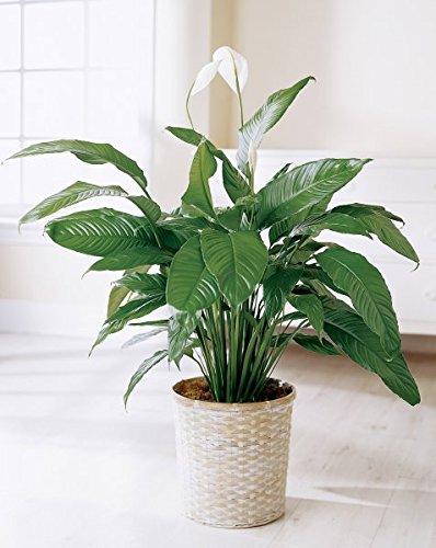 Amazon.com : Spathiphyllum