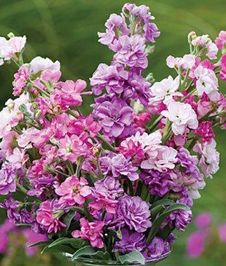 Stock Flower Seeds - Burpee Katz Fragrant Mix Stock Seeds 100 seeds