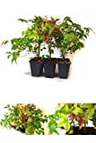 Plant Nandina Domestica Fire Power Heavenly Bamboo 3 Pound Pack of 6 Outdoor NEW