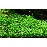 Tropica 1-2-GROW! *NEU* Mini-Kleeblatt / Marsilea crenata von TROPICA *NEU*