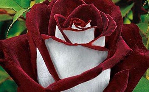 20 Abracadabra Rose Seeds,rare Color ,Osiria Rose Gorgeous Flower . The Lover Rose Seed Bonsai Planting Roses. (Abracadabra Rose)