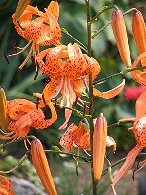 Tiger Lily Seeds (Bulbils) ?Long Lasting Blooms?Flowering Perennial?10 Bulbils