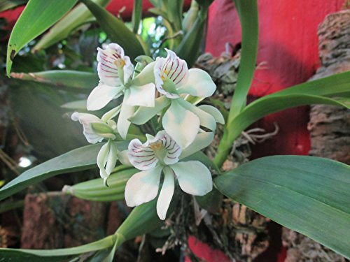 Prosthechea radiata from the Orchid family with over 28000 species .