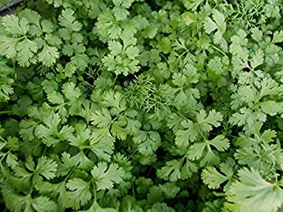 OrOlam Coriander Slow Bolting Cilantro Herb Organic Non GMO 250 Seeds