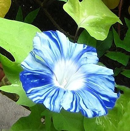 Futaba japanese takii white blue stripe morning glory flower seeds futaba japanese takii white blue stripe morning glory flower seeds 50 pcs mightylinksfo
