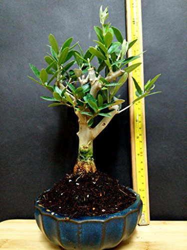 Miniature Bonsai - Olive Tree - 5 Year Old Plant by Miniature Bonsai (Image #3)