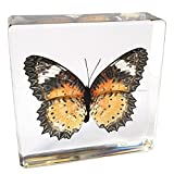 #8: Butterfly Paperweight Insect Bug Collection Specimen Taxidermy(3x3x1
