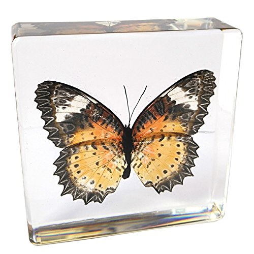 Butterfly Paperweight Insect Bug Collection Specimen Taxidermy(3x3x1