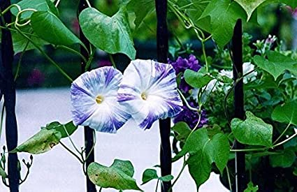 Amazon com: Morning Glory Seeds-Flying Saucers (Ipomoea