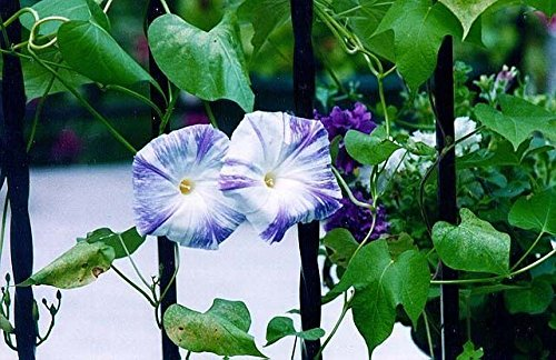 Flying Saucers (Ipomoea Purpurea) 25 Flowers Seeds~PERENNIAL (Morning Glory Perennial)