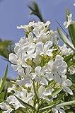 Oleander nerium oleander Rosenlorbeer tolle kräftige Pflanze 20cm weiße Blüten