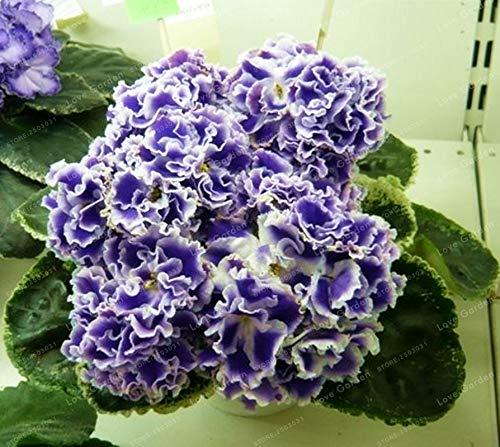 MAPPLEGREEN 100 PCS Saintpaulia Ionantha Bonsai Beautiful Plant Bonsai Flower Bonsai African Violet Bonsai DIY Home Garden Plants 4
