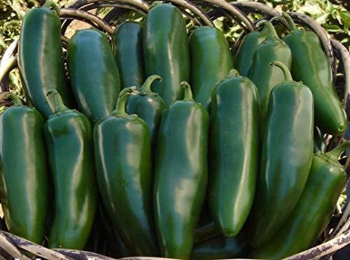 Pepper Hybrid Hot (Mammoth F1 Hybrid Jalapeno Hot Pepper Seeds (20 Seed Pack))
