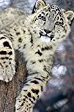 Snow Leopard (9x12 Art Print, Wall Decor Travel Poster)