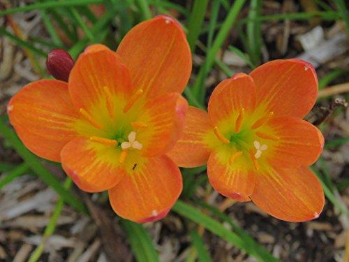 (Rain Lily, Zephyranthes Star of Bethlehem, 1 bulb, NEW, habranthus)