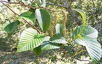 Amazoncom 50 Seeds Andean Alder Tree Alnus Acuminata Garden