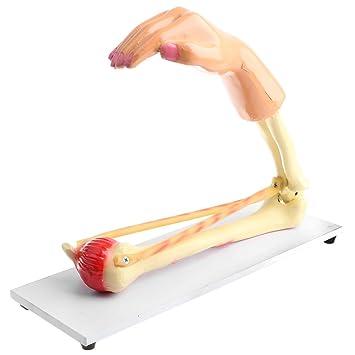 F Fityle 1: 1 Lebensgroßes Menschliches Ellenbogengelenk Skelett ...
