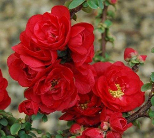Scarlet Storm Double Take Flowering Quince - Live Plant - Quart Pot Flowering Quince Fruit