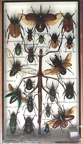 Great supply Real Exotic Scorpion Spider Stick Bug Jewel cicada Insect Beetle Ladybug Taxidermy in Wood Frame ()