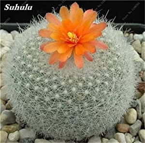 200 Pcs Mini Cactus Meaty Seeds Radiation Protection Japanese Succulent Seeds Imported Cactus Bonsai Plant Pot Seed For Garden 9