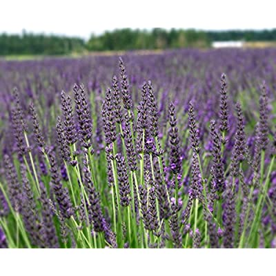 4 Grosso Lavender/ Lavandin Lavandula X Intermedia/